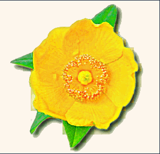 Buttercup clipart /buttercup_clip_art buttercup /plants/flowers/_B/buttercup art /plants/flowers/_B/buttercup
