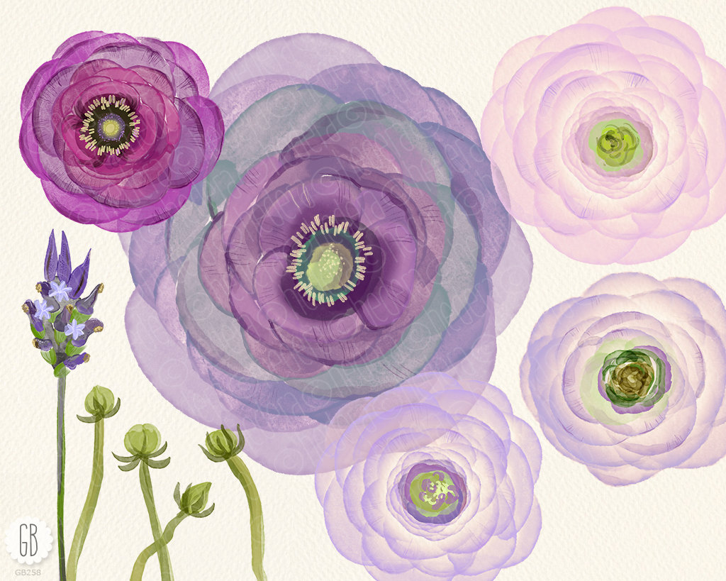 Buttercup clipart african violet Ranunculus hand is flowers lavender