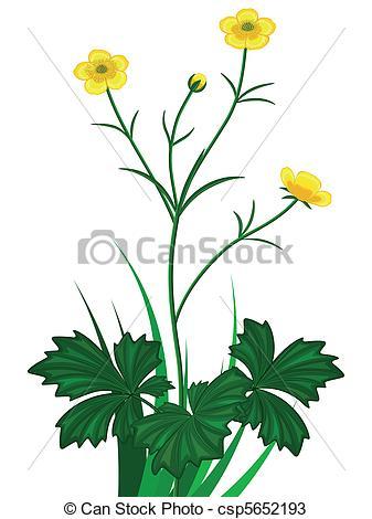 Buttercup clipart big flower Csp5652193 white on Buttercups Buttercups