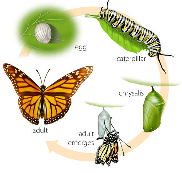 Butterfly clipart growth Of becoming the to up