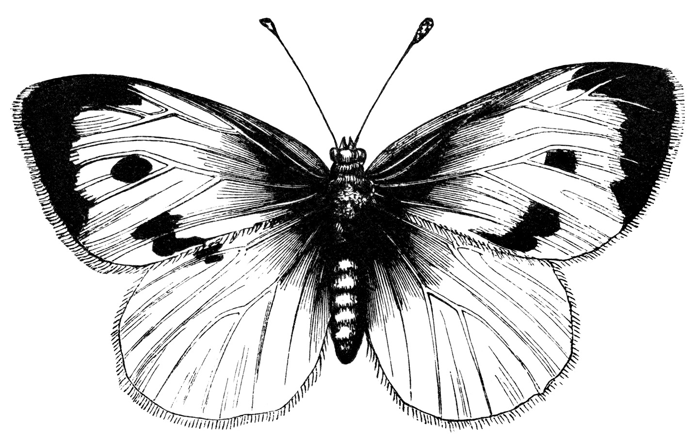 Butterfly clipart vintage Drawing butterfly Butterfly photo#15 Vintage