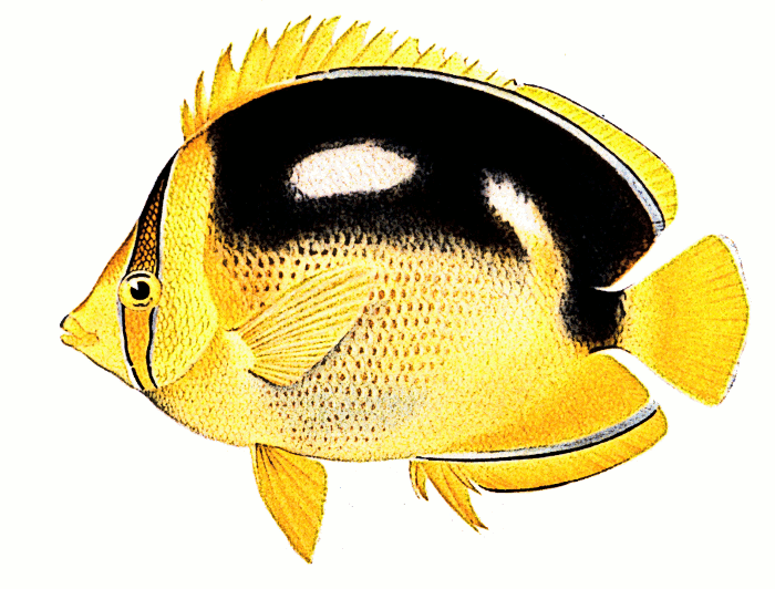 Butterflyfish clipart realistic fish Chaetodon Fourspot Chaetodon Butterflyfish clipart