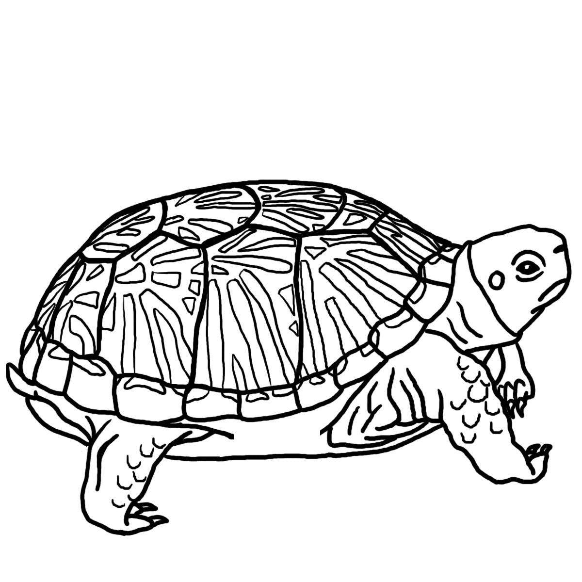 Reptile clipart turtle #12