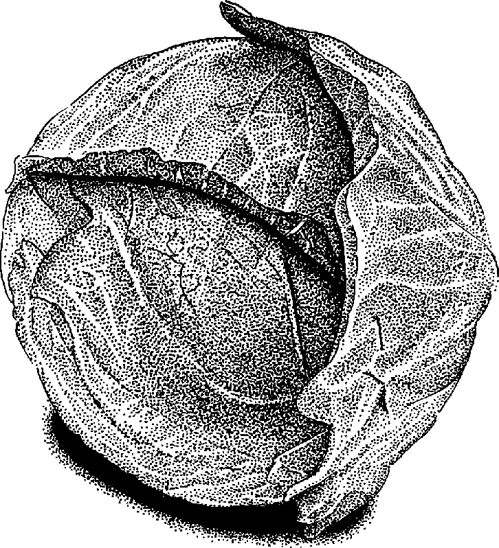 Cabbage clipart black and white Practica Cabbage » Technical «
