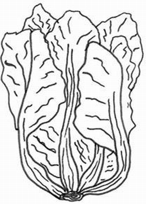 Cabbage clipart black and white Art White and 1000 white