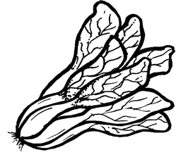 Cabbage clipart petchay White And Clipart Black White