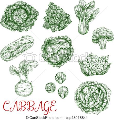 Cabbage clipart sketch  sketch Cabbage vector icons