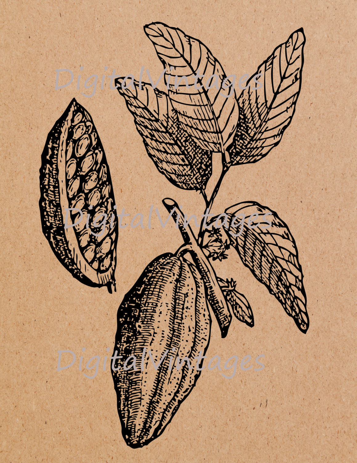Cacao clipart Jpg Plant Illustration Clip Image