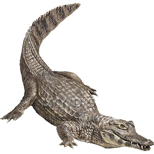 Caiman clipart Download #18 Caiman drawings clipart