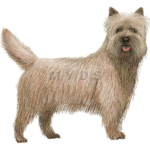 Cairn Terrier clipart Cairn (Free art Terrier clipart