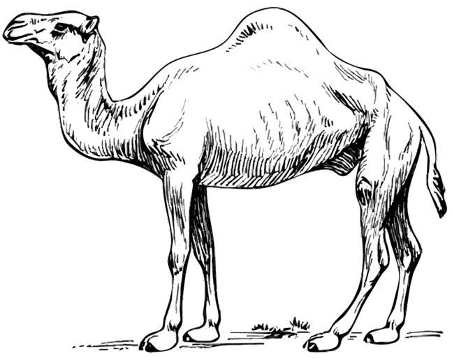Camel clipart big animal Free Images clipart com camel_dromedary_2