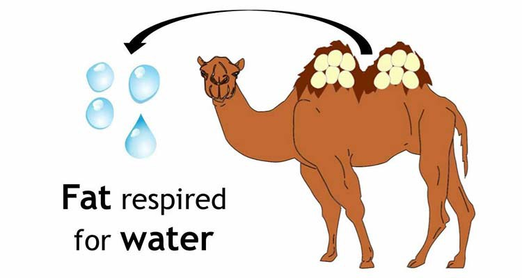 Camel clipart body Body  certain have animals