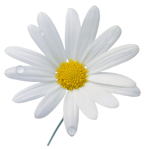 Chamomile clipart flower bunch Clipart flowers #CamomileClipart png clip