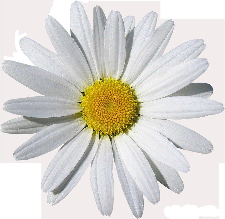 Chamomile clipart flower bunch Chamomile Art Clip Clip –