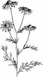 Chamomile clipart flower bunch  Free Clipart images Camomile