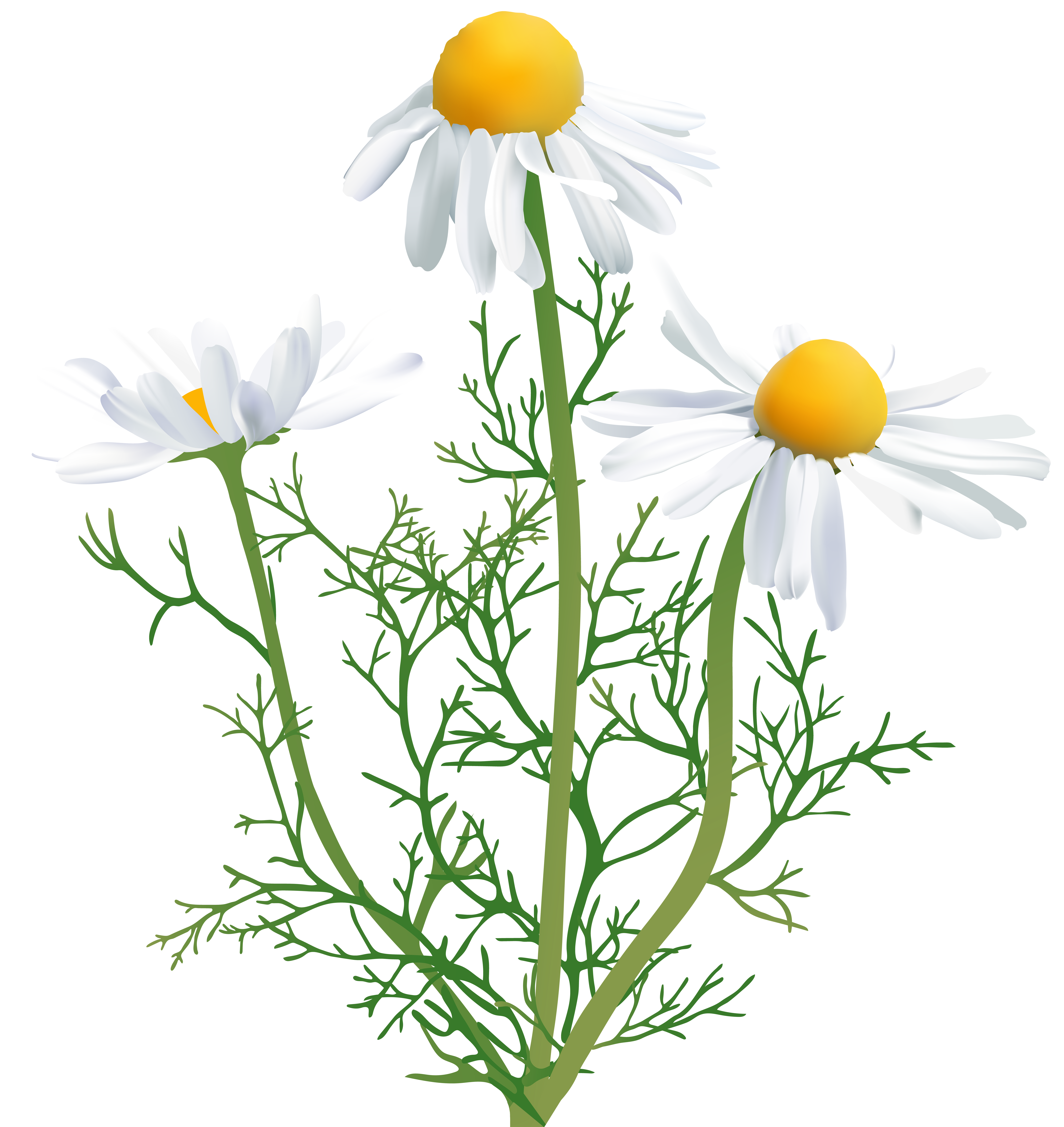 Camomile clipart High Gallery size Clip
