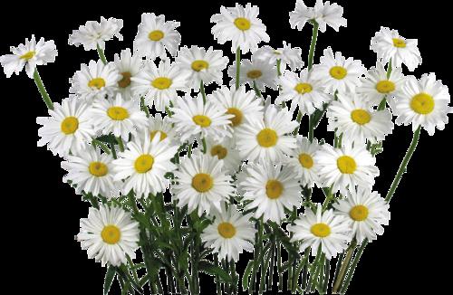 Camomile clipart Clipart art flowers clip Camomile