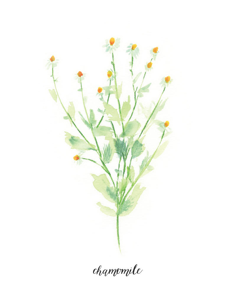 Camomile clipart clean air With Label Watercolor WatercolorPaperie Herb