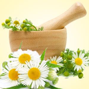 Camomile clipart clean air Chamomile Garden Scents Fragrance Chamomile