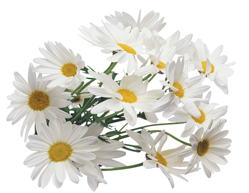 Camomile clipart png format Download Transparent Camomile Art Image