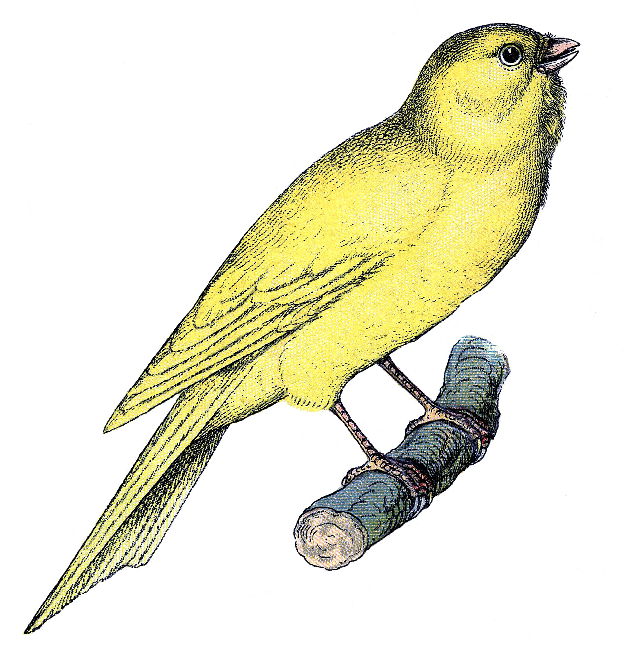 Canary clipart The Clip Canary Sweet Art