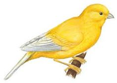 Canary clipart Add you cliparts Cliparts another