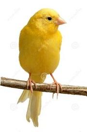 Canary clipart Canary Clipart Free canary