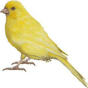 Canary clipart Clipart Island graphi graphics Canary