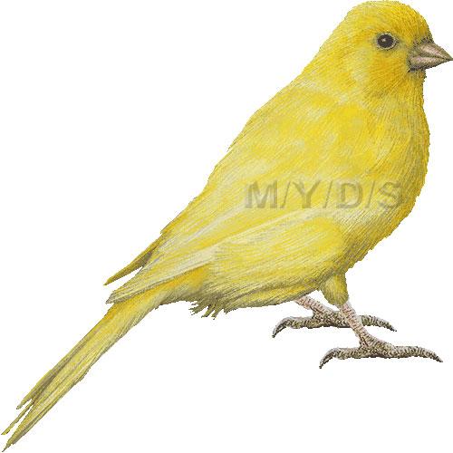Canary clipart Canary Canary Common Canary clipart