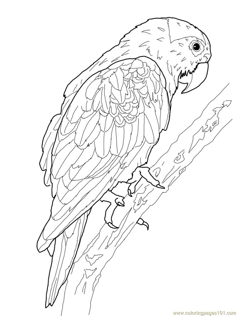 Drawn parakeet colouring page Parrot patterns Coloring colouring Explore