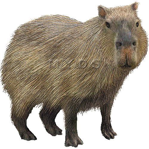 Capybara clipart Clipart #51 Fans clipart 69