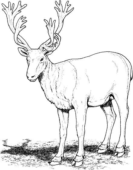 Caribou clipart #9