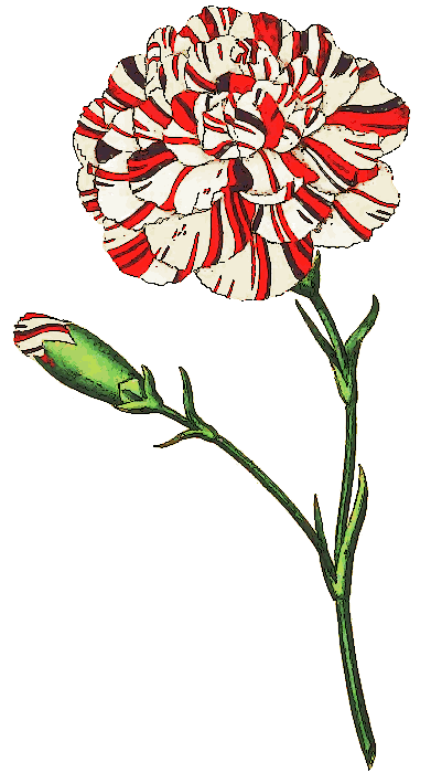 Carnation clipart #3
