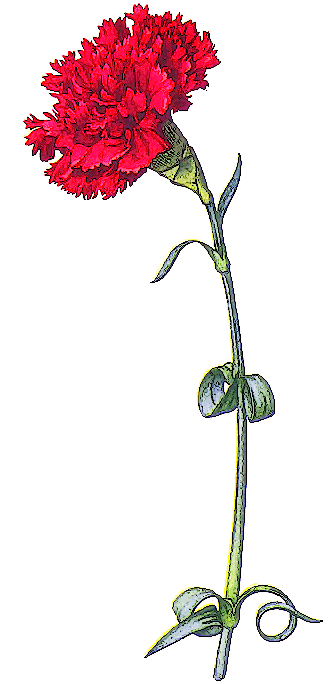 Carnation clipart #5