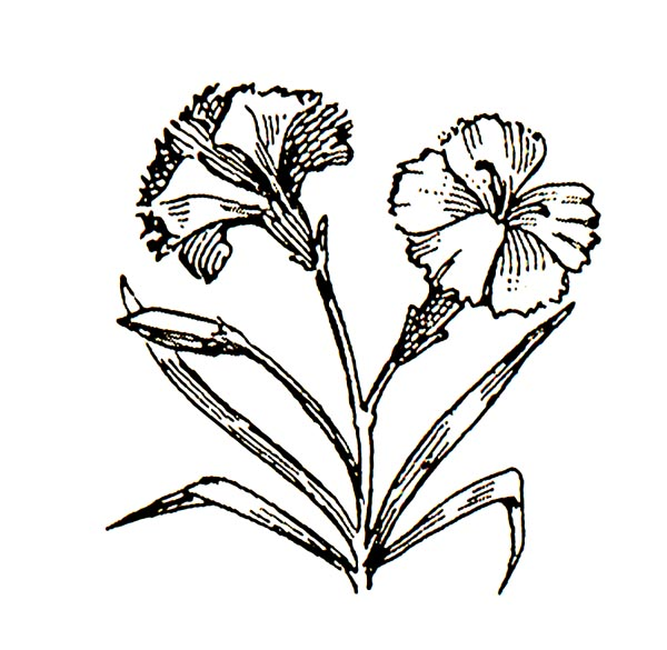 Carnation clipart black and white >> Art Free Clipart Carnation