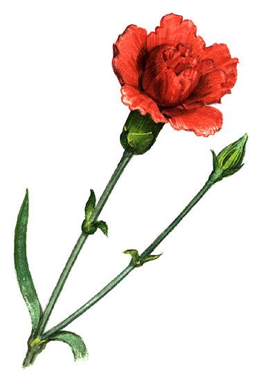 Carnation clipart black and white Carnation</P> jpg <P>Ohio: Flower flower
