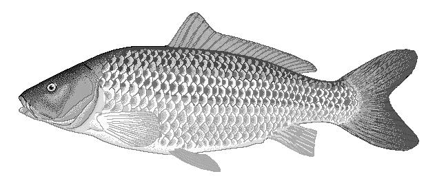 Carp clipart  png Common /animals/aquatic/fish/C/carp/Common_carp__ clipart
