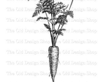 Carrot clipart vintage PNG Etsy Illustration Carrot Botanical