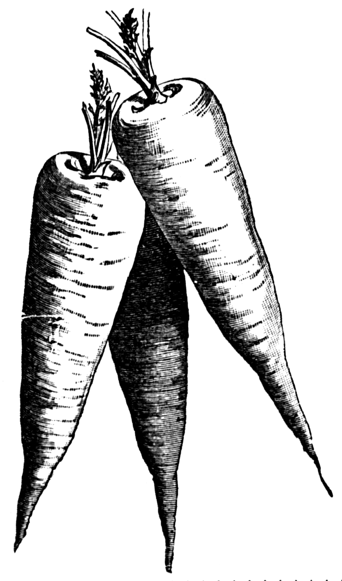 Carrot clipart vintage White Black Clipart Carrots Black