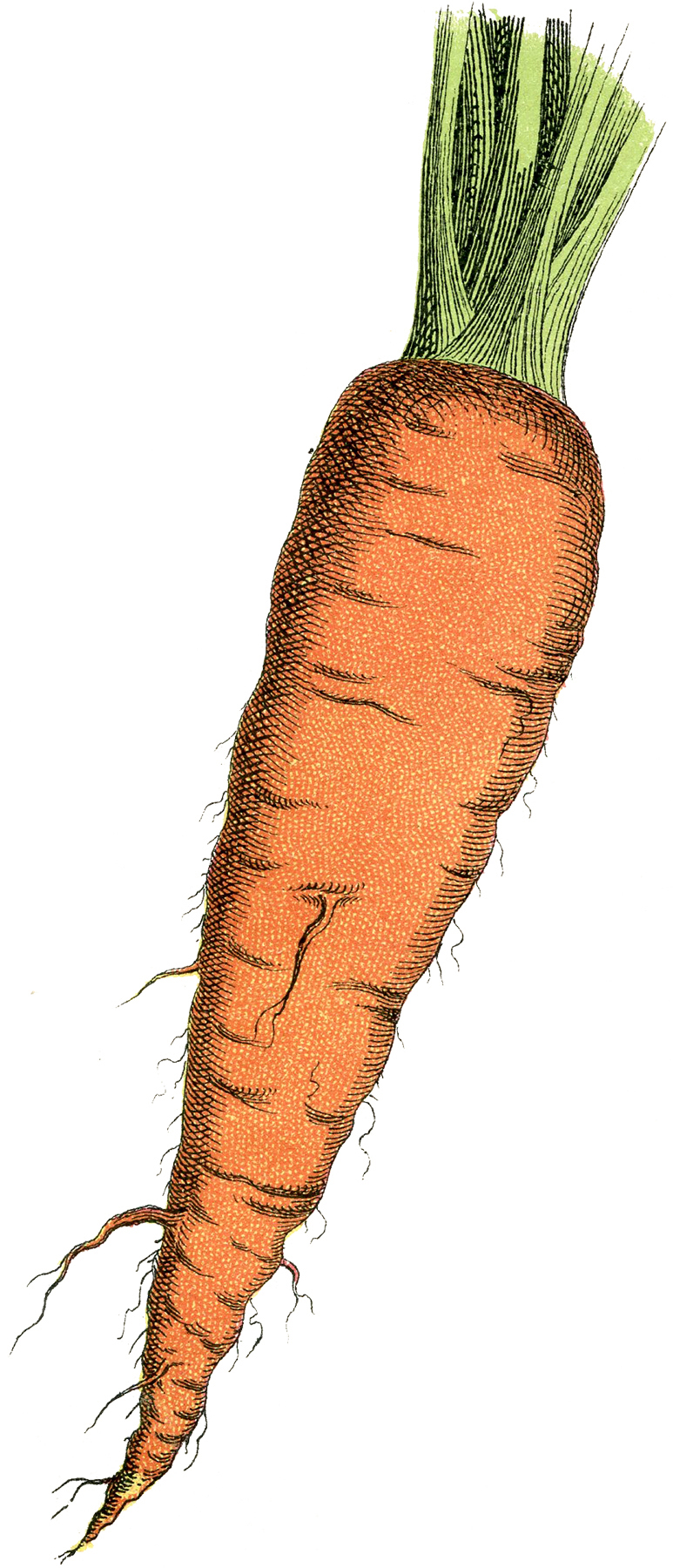 Carrot clipart vintage Image Carrot Free Free The