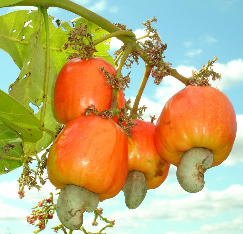 Rambutan clipart english Cashew The The The Cashew