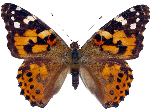 Caterpillar clipart painted lady Painted Painted Butterfly Lady collection
