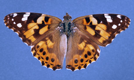 Caterpillar clipart painted lady Butterflies Painted Butterflies Lady Pictures