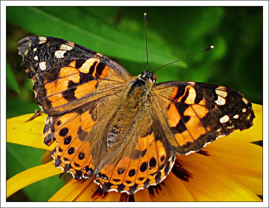 Caterpillar clipart painted lady Photo#23 Painted butterfly lady Clip