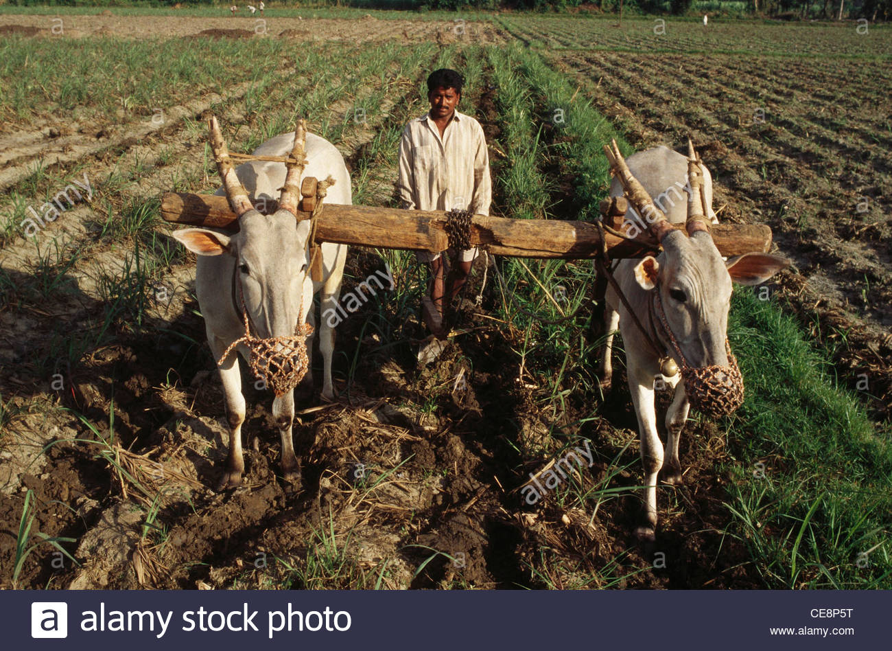 Cattle clipart indian farming #11
