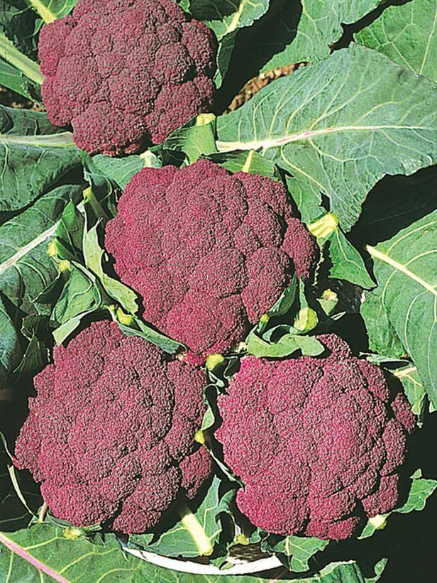 Cauliflower clipart sayur On F1 Cauliflower Pinterest 'Violet