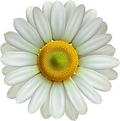 Chamomile clipart And GoGraph Eps10 flower Chamomile