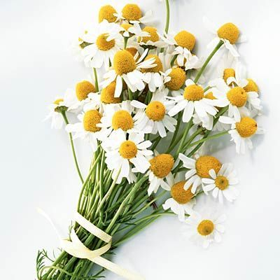 Chamomile clipart one Images Try about best Should