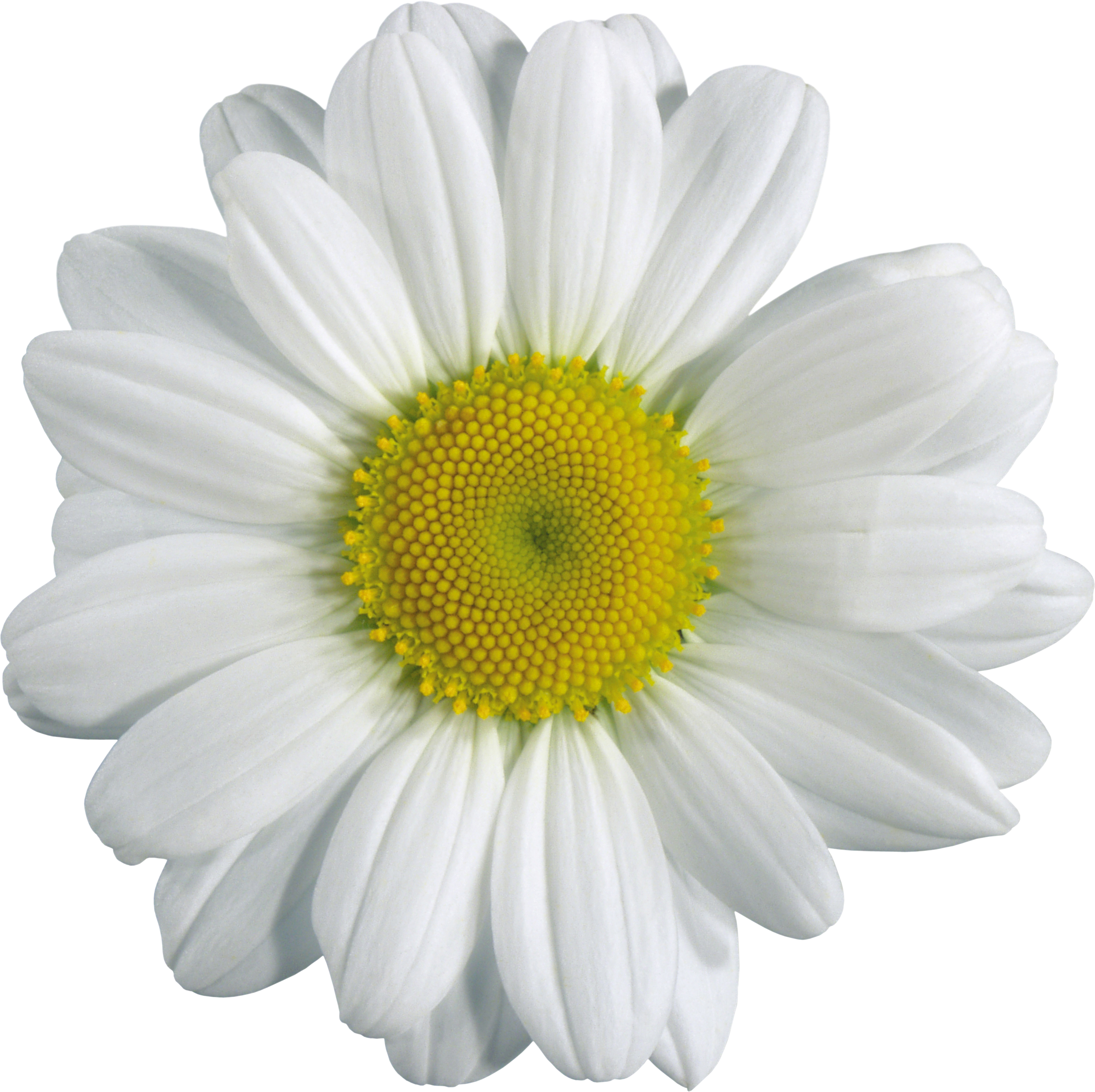 Camomile clipart png format Image picture Camomile picture image