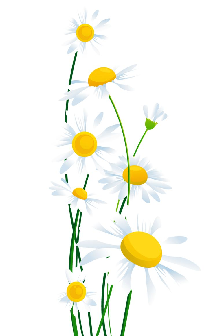 Camomile clipart small Png on Transparent_ clipart 25+